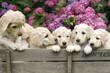canvas print picture - Labradoodle Pupies