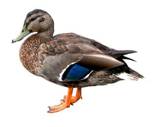 Female Mallard Duck With Clipping Path