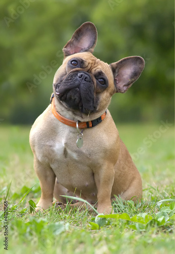 Stickers pour portes Bouledogue français French bulldog dog portrait