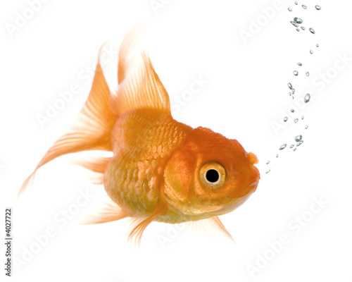 Goldfish in front of a white background Wallpaper Mural