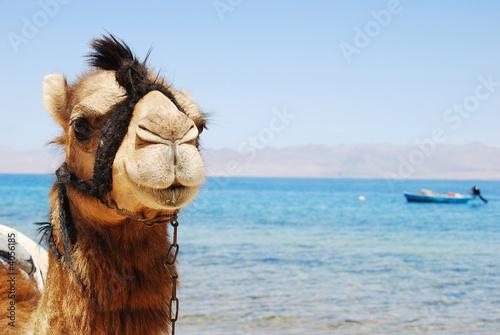 Keuken foto achterwand Kameel camello mirando a cámara