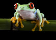 Frog on bamboo on the black background