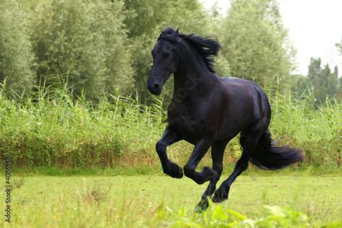 fototapeta na lodówkę Koń fryzyjski