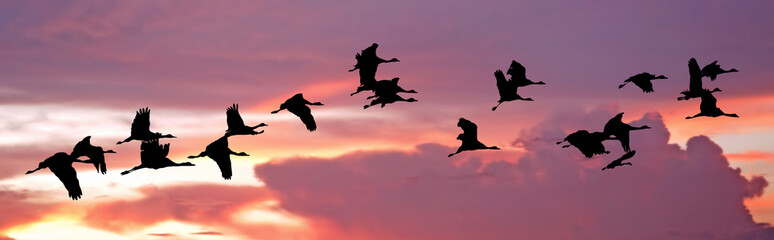 India, Flock of cranes at sunset