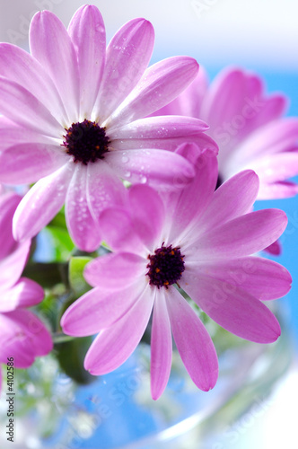 Obraz Bukiet różowych stokrotek - fototapety do salonu