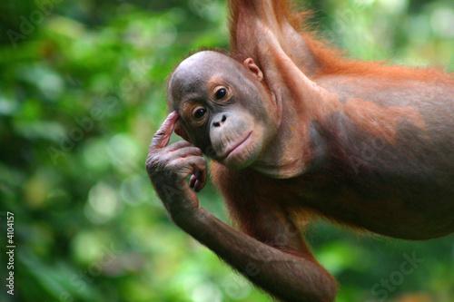 Fotobehang Aap Orang-Utan in der Orang-Utan-Station Sepilok auf Borneo