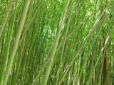 Gaj zielonych bambusów