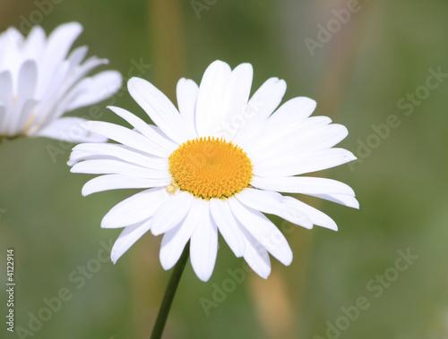 Staande foto Lente white chamomile