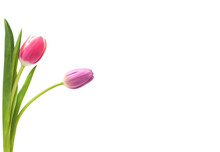 Two Tulips Isolated On White