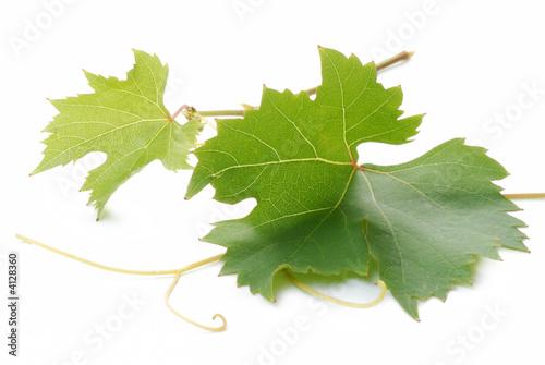 foglie d'uva Fototapeta