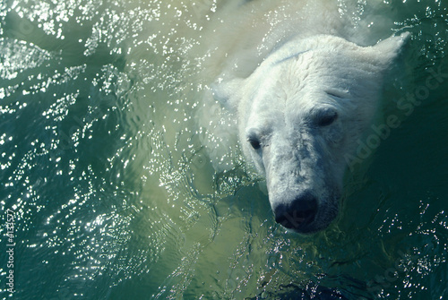 Photo sur Toile Ours Blanc Polar bear in water
