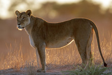 Backlit Lioness (Panthera Leo)