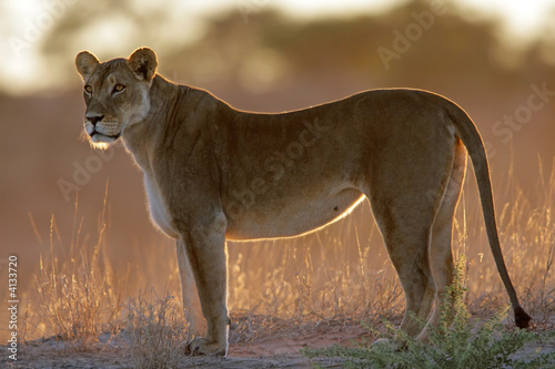 Canvas Print Backlit lioness (Panthera leo)
