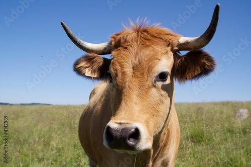 Poster de jardin Vache Vache de l'Aubrac