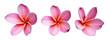 canvas print picture - Fleur de frangipanier