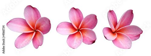 Cadres-photo bureau Fleuriste Fleur de frangipanier