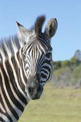 Fototapeta na wymiar Zebra looking backwards