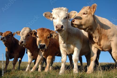 Papiers peints Vache veau