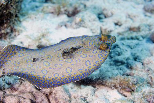 Obraz na płótnie Peacock Flounder