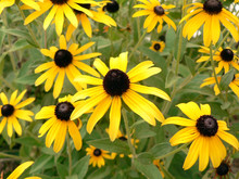 Flower - Black Eyed Susan 3