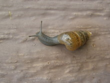 A Wandering Snail
