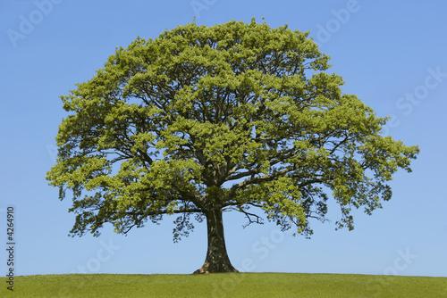 Foto op Aluminium Baobab The Oak In Spring