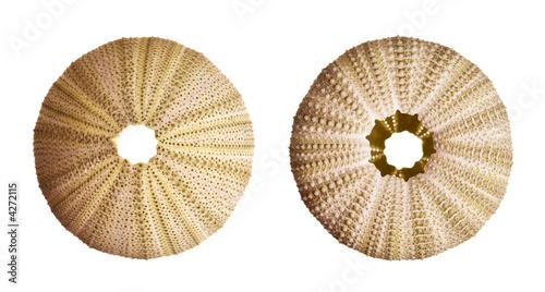 Fototapety, obrazy: Green Sea Urchin