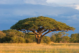 Fototapeta Sawanna - African Acacia tree, Hwange National Park, Zimbabwe