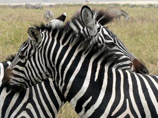Obraz na Szkle Zebry Hugging zebra