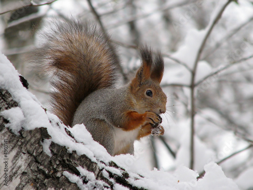 Fotomural  Squirrel 2