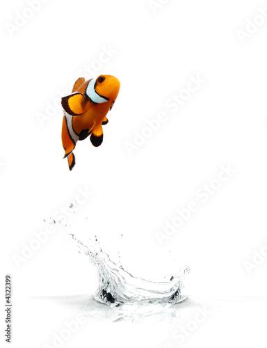 Fotografie, Obraz  Skákání Clownfish