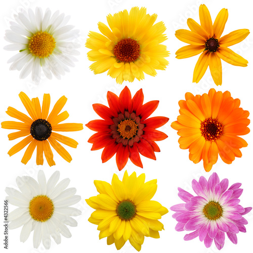 Daisy collection Lerretsbilde