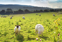 Moutons, Irlande, Wicklow Mountains