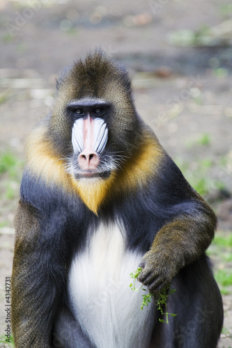 Poster Parrot Male mandrill