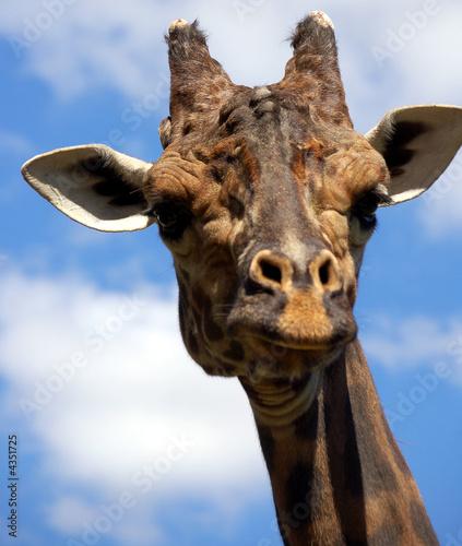 Fotobehang Giraffe Giraffe series