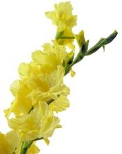 Yellow Gladiolus Flowers