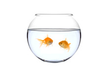 Two Golden Fish In A Bowl Against White Background