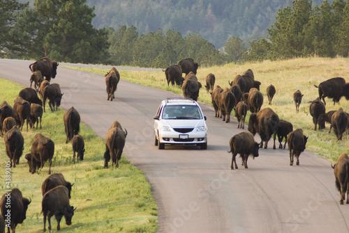 Staande foto Buffel Buffalo viewing 7