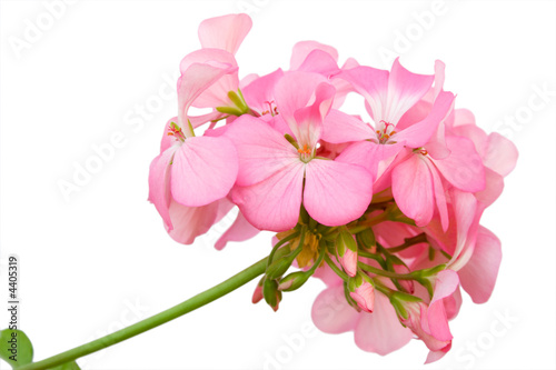 Beautiful inflorescence of pink geranium Canvas Print