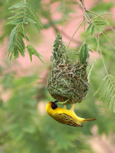 Southern Masked Weaver On His Nest