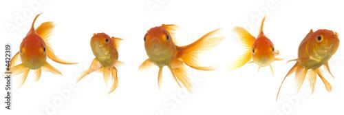 Fotografia Goldfish lokking