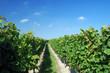 canvas print picture - a german vineyard near the rhein river