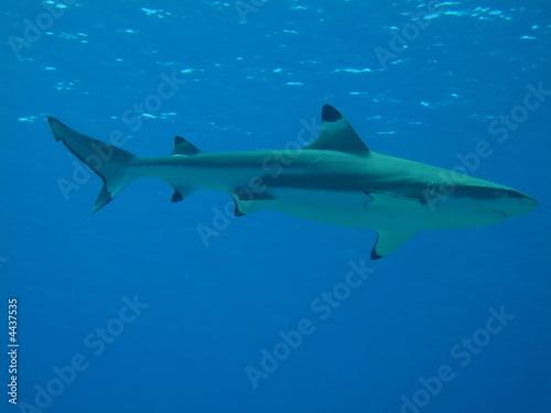 Foto op Plexiglas Dolfijnen Tiburon Punta Negra sobre azul