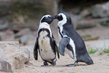 Cute Penguin Kissing