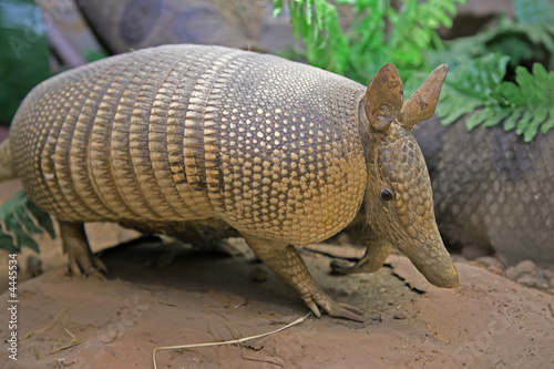 armadillo animal Wallpaper Mural