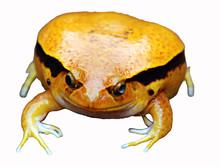 Fake Tomato Frog