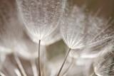 Dandelion Seed Closeup - 4453374