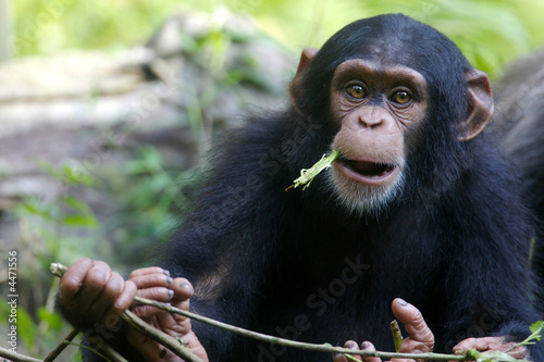 Chimpanzee Tapéta, Fotótapéta