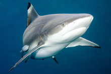 Blacktip Reef Shark