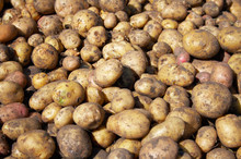 Heap Of New Raw Potatoes